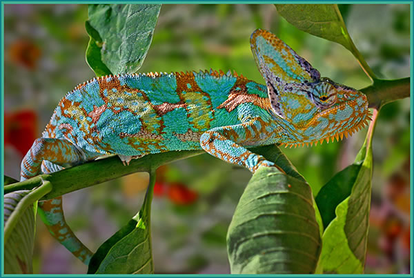 http://www.photographyblog.com/images/photo_of_the_week/05110905/Corinnes%20Chameleon.jpg