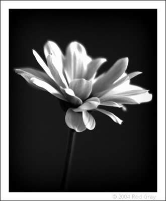 Chrysanth #3